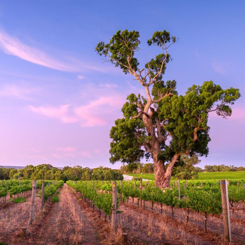 Vineyard in McLaren Vale, South Australia