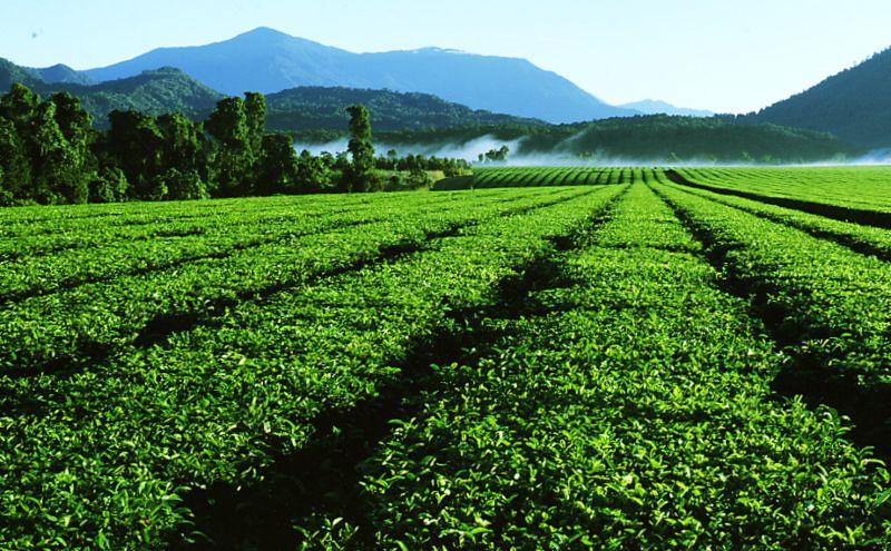 Ner Tea Plantation QLD Australia