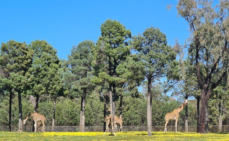 Dubbo Zoo giraffes