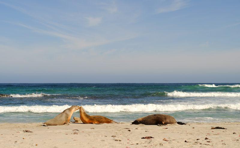 Seals at Seal Bay in Kangaroo Island