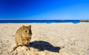 Qukka on the beach at Rottnest Island Western Australia