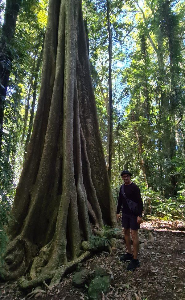 Big trees Dorrigo