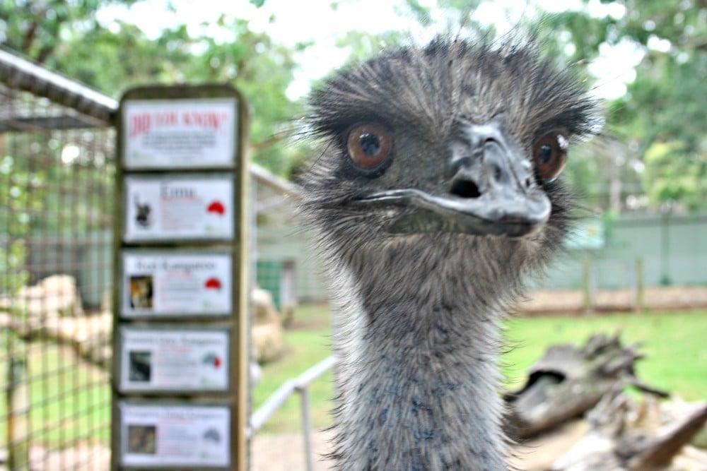 Featherdale Emu
