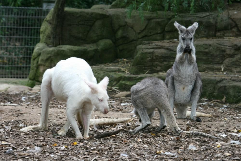 featherdale albino kangaroo