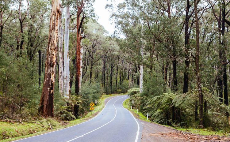 Country road lined with trees in Victoria Australia