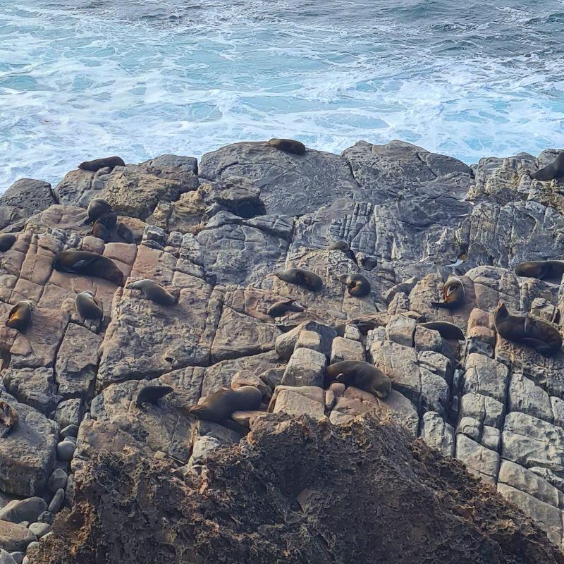 New Zealand Fur Seals Kangaroo Island