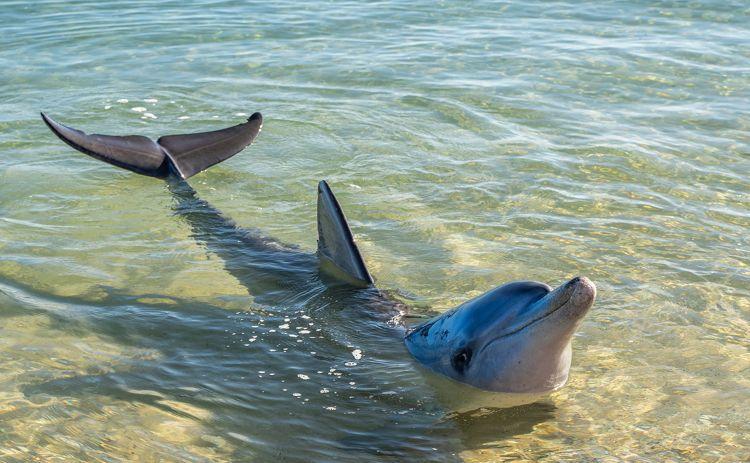 Dolphin at Monkey Mia Western Australia
