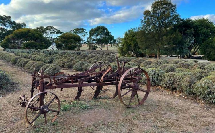 EMu Bay lanvendar farm Kangaroo Island