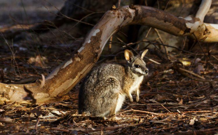Tammar wallaby Kangaroo Island