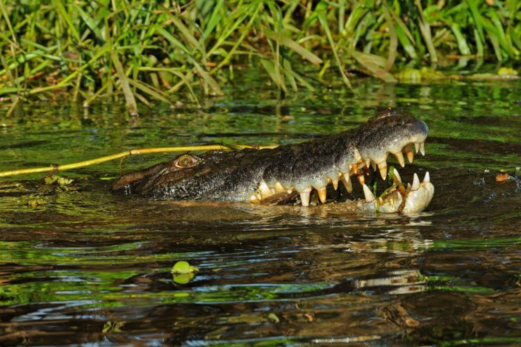saltwater croc kakadu Australia