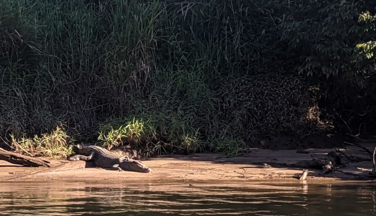 Crocodiles at Cape Tribulation Queensland